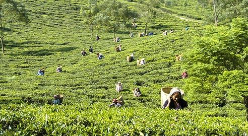 Glenburn Tea Estate highlight